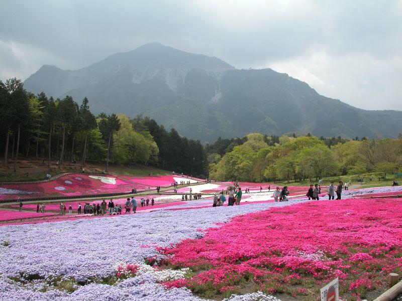 何色が好き?セラピー効果も期待!秩父・羊山公園のダイナミックな芝桜