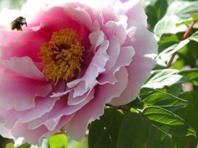 千葉県・柏市の隠れた名所、三大ぼたん寺で花の饗宴!