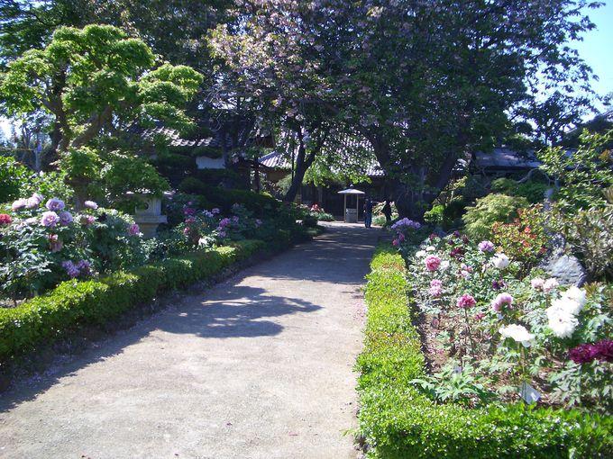600株の牡丹の散歩道、船戸の医王寺