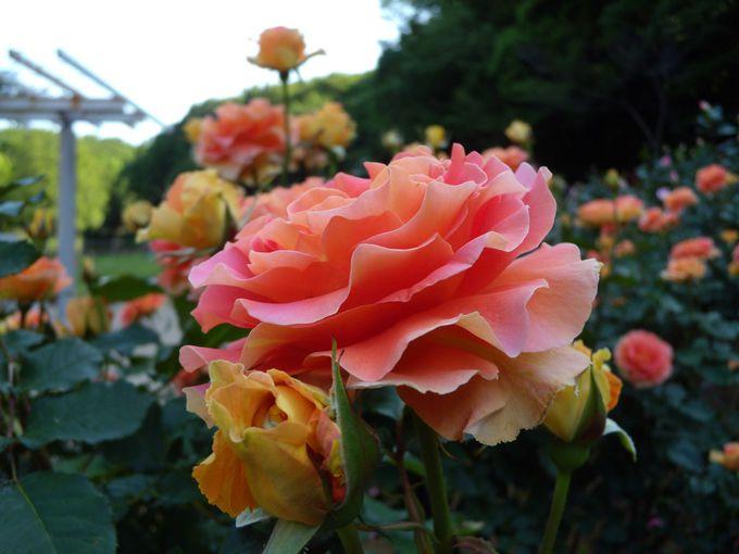 お気に入りのバラはこれ!