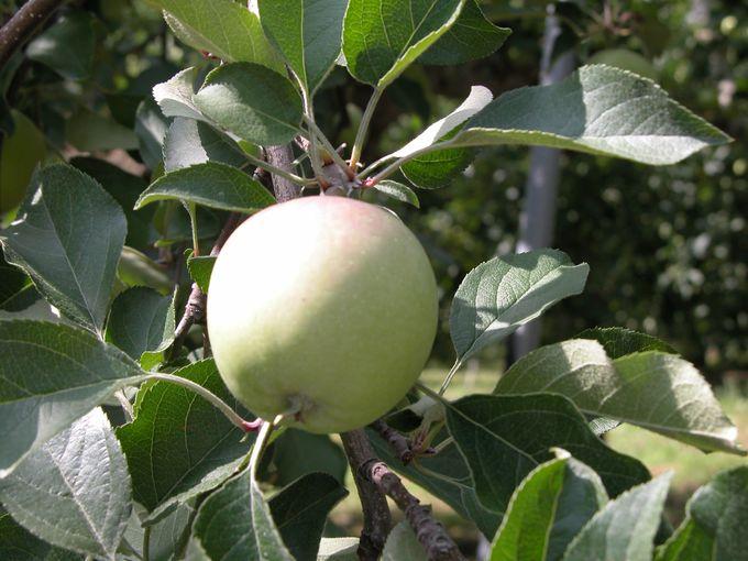 アップルロードでリンゴに囲まれ幸せ気分♪