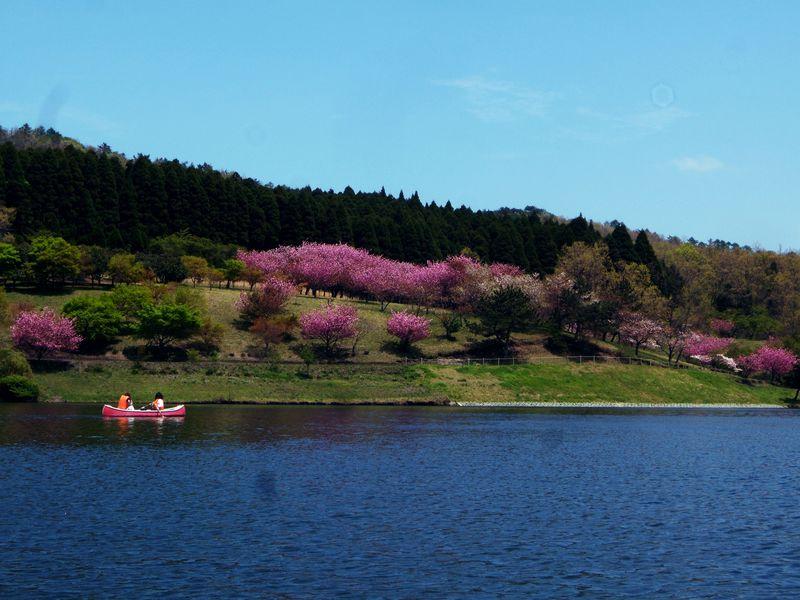 ボートで望む由布岳!桜!これぞ別府の隠れた穴場「志高湖」