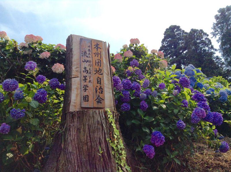 住宅街に絶景?口コミだけで年々増加!千葉県流山のあじさい通りが凄い!