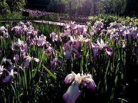 太陽の塔だけじゃない!万博記念公園の菖蒲の花が圧巻