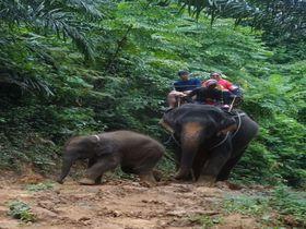 オフロードでエレファントライドを楽しもう!タイ・クラビのジャングルで出会う人懐っこい象たち
