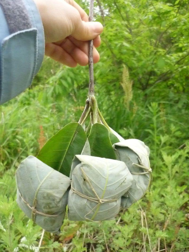 初夏限定!木曽の名物菓子「ほう葉巻き」