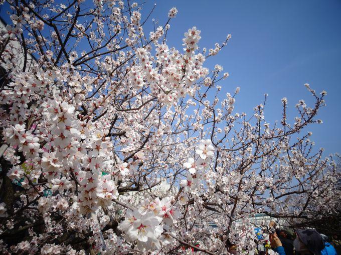 神戸の春の風物詩、アーモンドフェスティバル