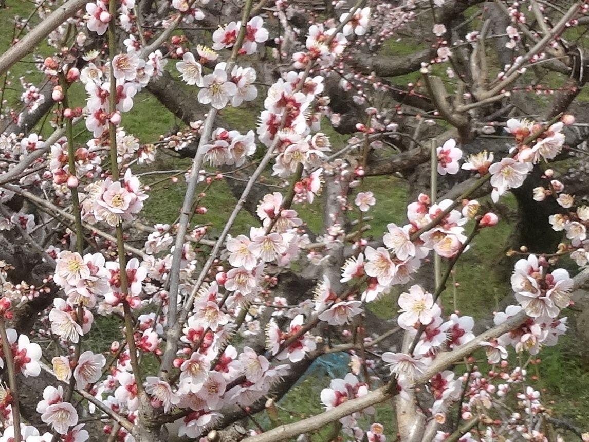 徳島最大規模の梅林!16,000本の梅が山全体をほんのり色付ける