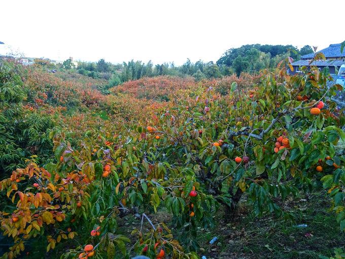冬に備えて、おいしい柿をお腹いっぱい食べよう!