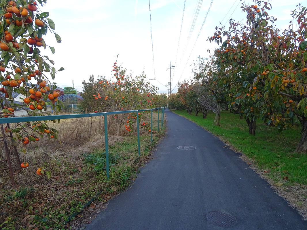10月中頃から柿色に染まる柿街道
