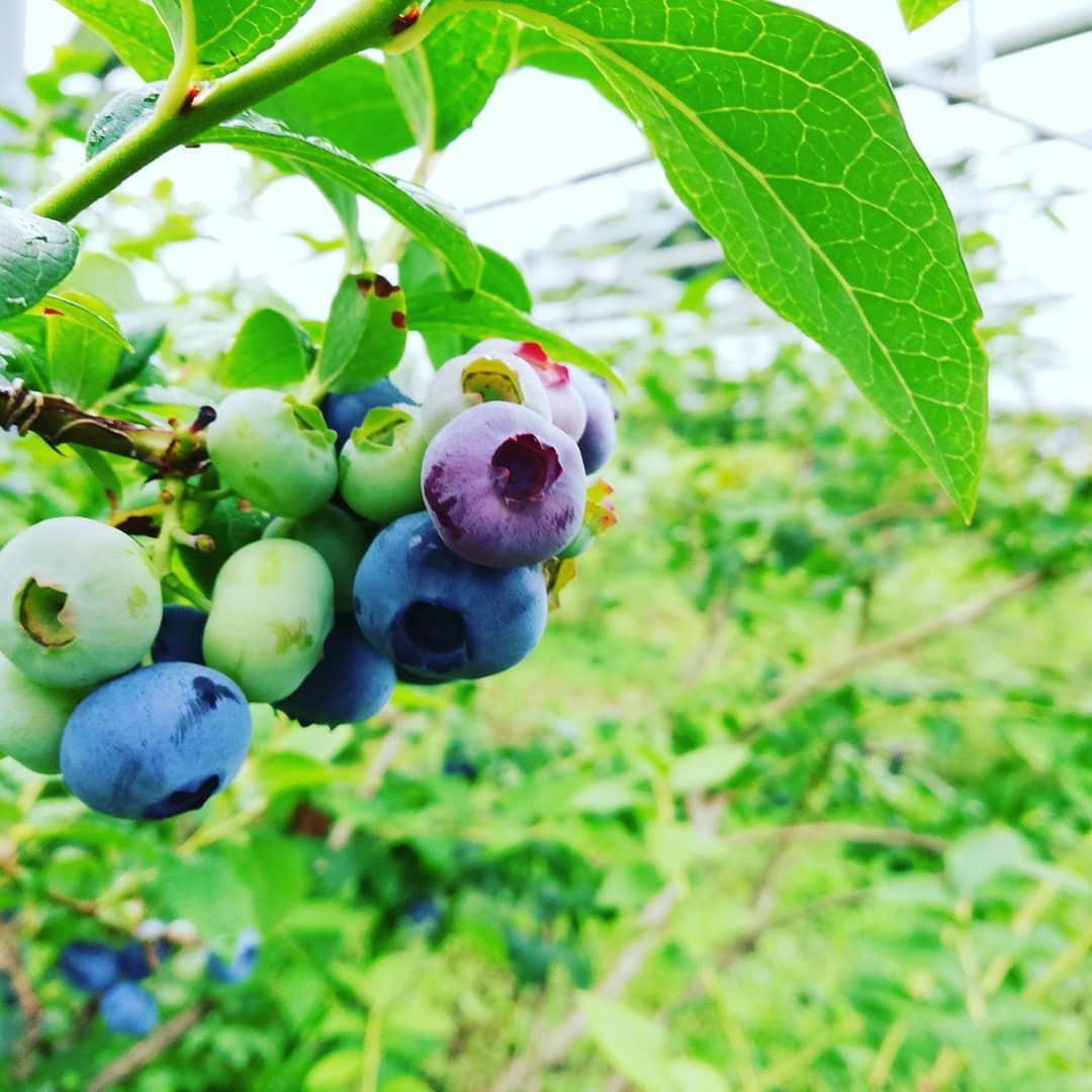ブルーベリー狩りや野菜収穫体験もできる!