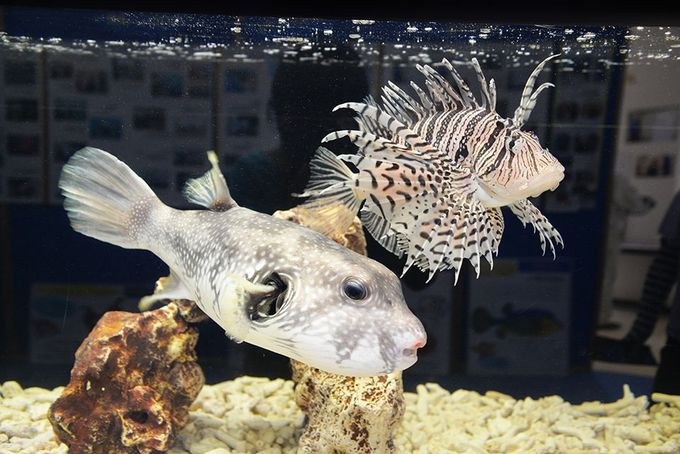 さかなクンが世界の海で見つけた貴重な魚たち