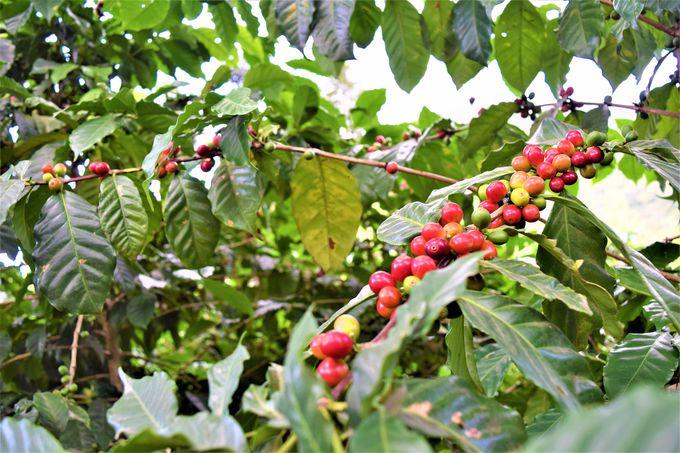 広いコーヒー農園をトラックで見学