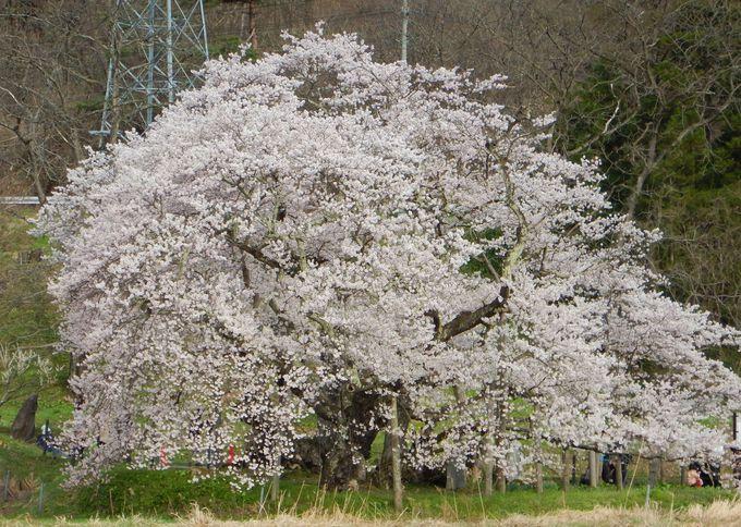 大河ドラマ「八重の桜」のオープニングを飾った「石部桜」