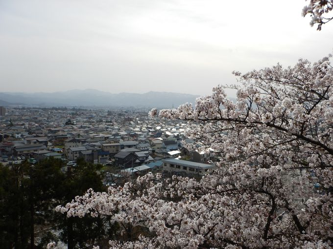 飯盛山麓の老樹「太夫桜」