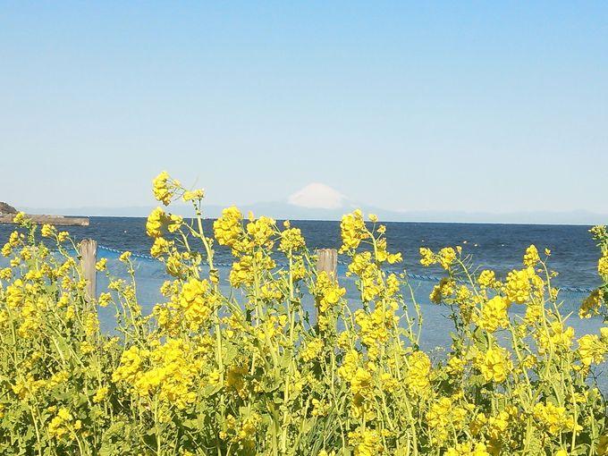 菜の花越しに富士山!