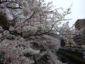 東京・神田川沿いの桜散歩道をそぞろ歩き!江戸川公園&穴場スポット