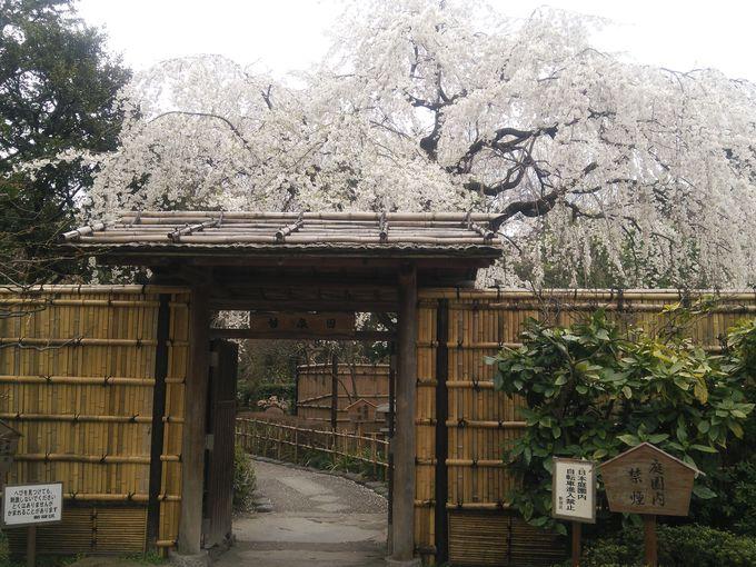 穴場の甘泉園には枝垂れ桜 のんびり休憩