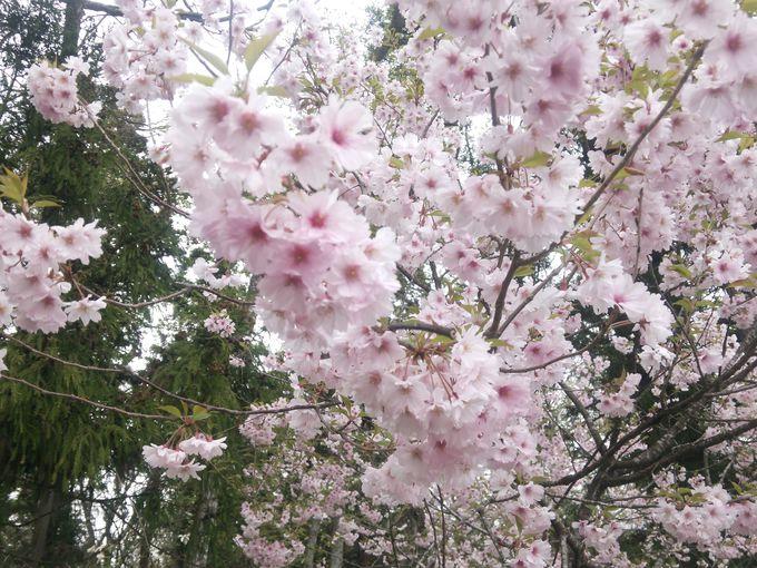 春には会津五桜の薄墨(うすずみ)桜