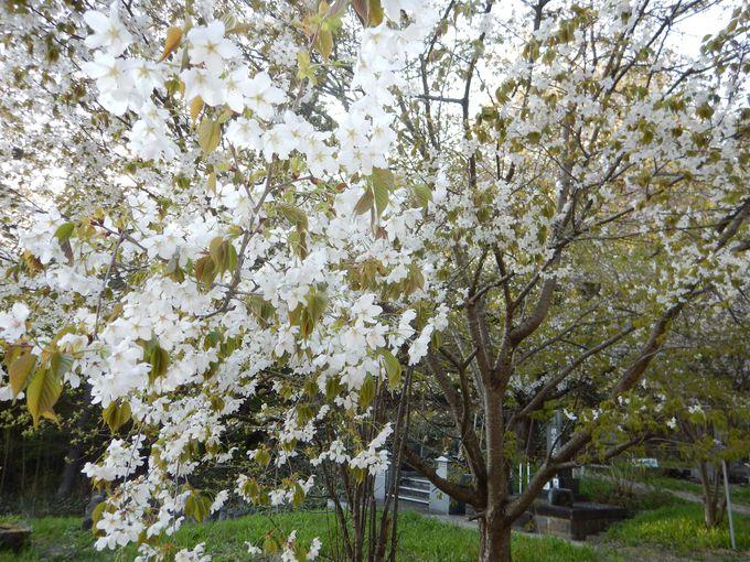 近藤勇の墓近く天寧寺の桜
