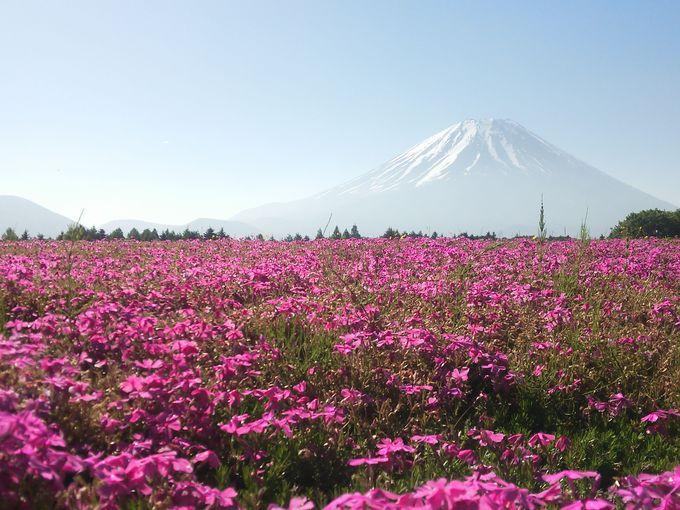 富士本栖湖リゾートで芝桜とコラボ