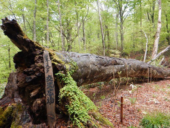 倒木の樹齢400年「国界の大ブナ」
