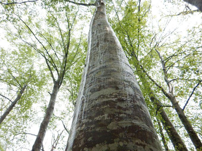 「癒しの森」の手つかずのブナ林