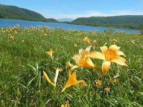 雄国沼(福島県北塩原村)で湿原を黄色に彩るニッコウキスゲ