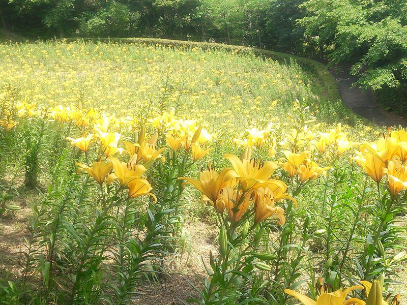 3万坪に咲くリリーは見逃せない!!可睡ゆりの園(静岡県袋井市)