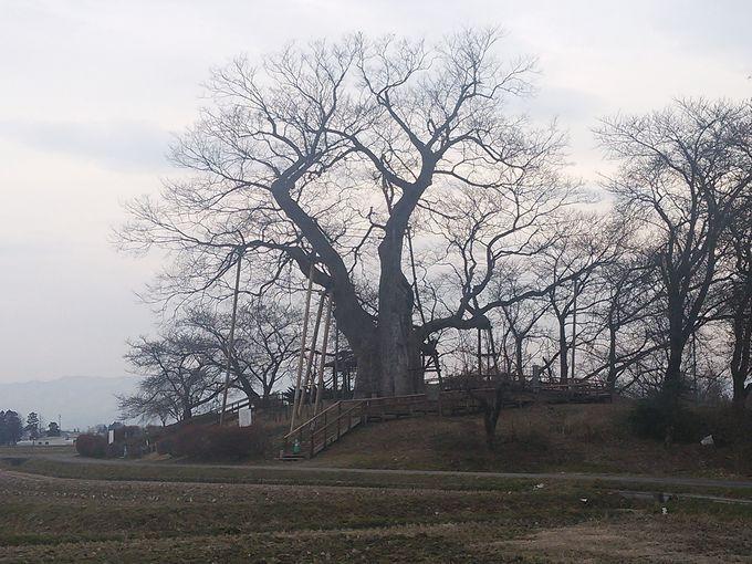 鶴ヶ城の2倍の広さ、神指城の東北角には高瀬の大木