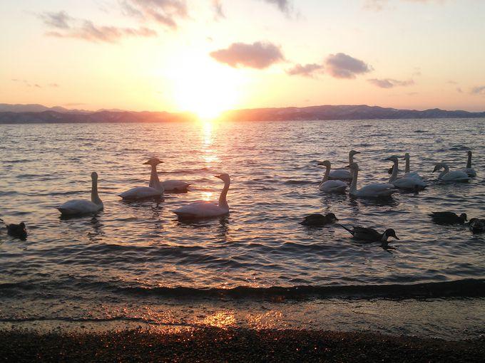 磐梯山をバックにした志田浜湖面には多くの白鳥が!