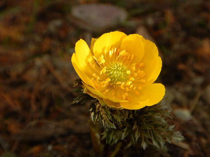 可憐な春告げの花が一面に咲きます