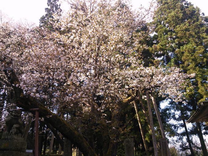 花弁が特徴的な会津五桜「虎の尾桜」