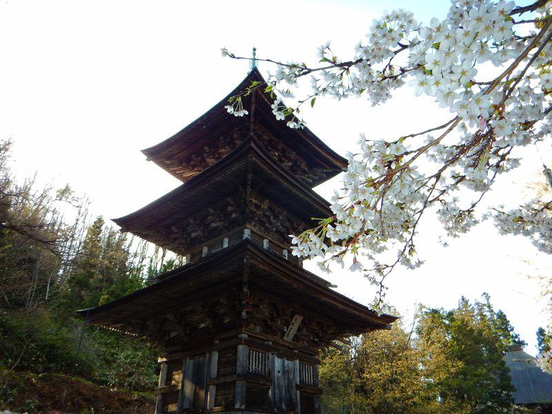 仏都会津を感じる法用寺で会津五桜「虎の尾桜」と木造三重塔の共演