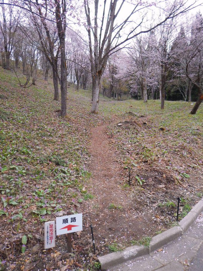 大林ふるさとの山で斜面に咲くカタクリ