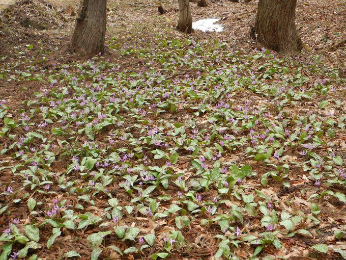 蒲生岳の登山口に咲くカタクリ
