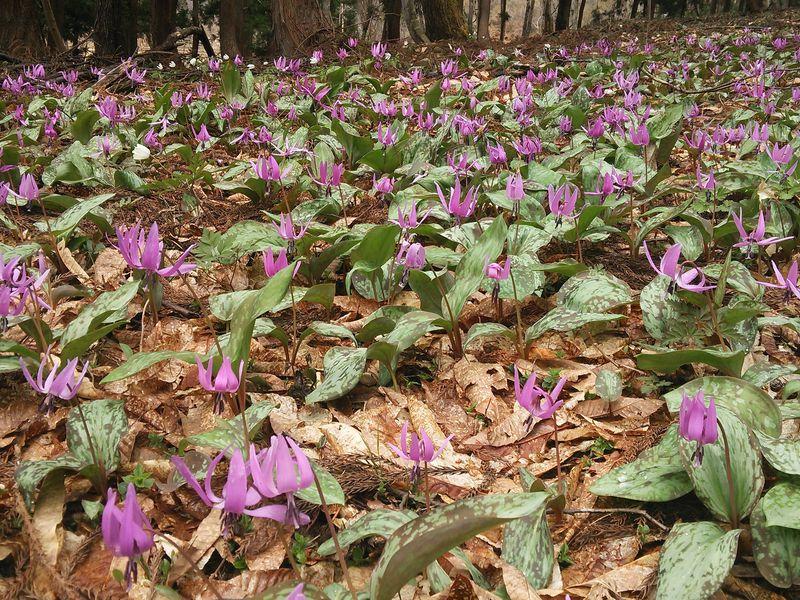 カタクリさくらまつりも!一面に咲くカタクリは奥会津の春の息吹