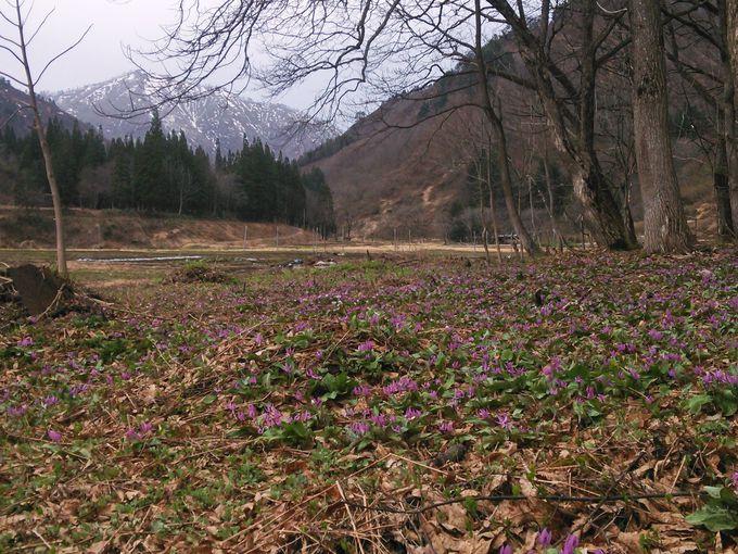 雪解けを待って咲く遅咲きのカタクリ