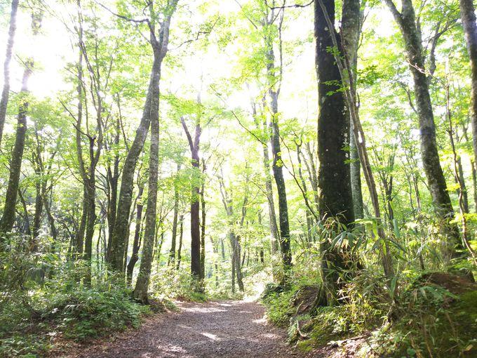ブナ林の森林浴で森林セラピーも楽しみましょう!