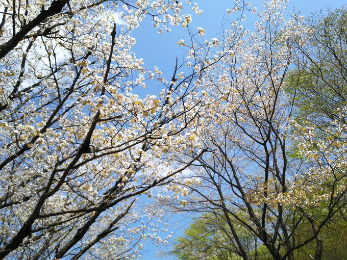 つつじ山公園の脇には、ヤマザクラ並木〜女沼へ