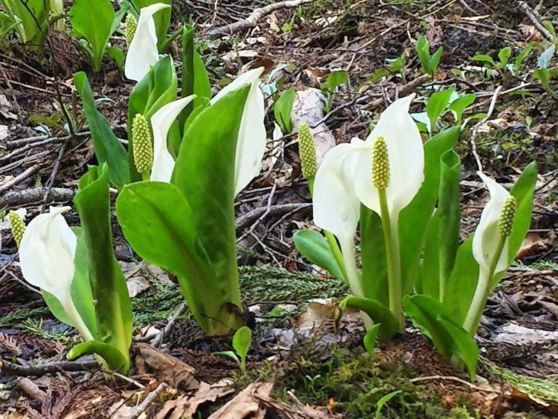 ミズバショウ等の沼地湿原の花々が美しい!福島市奥土湯 仁田沼周辺散策