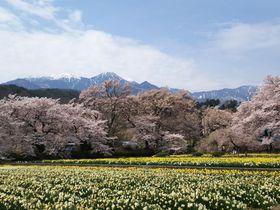 マツコ絶賛!日本最古の神代桜や穴場の桜を巡って、甲州の桜満喫