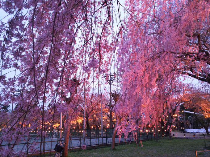 忠霊塔前のしだれ桜