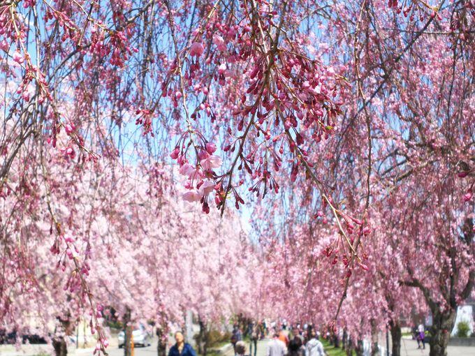 様々なしだれ桜の姿