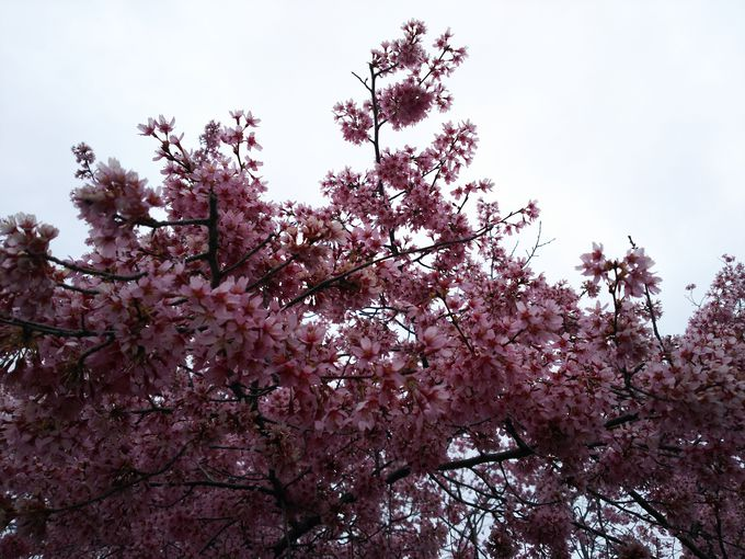 出町柳駅前の長徳寺のオカメ桜