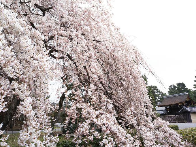 京都御苑近衛邸跡の枝垂れ桜