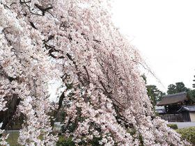 早春の京都で早咲きの桜を探すぶらり散歩