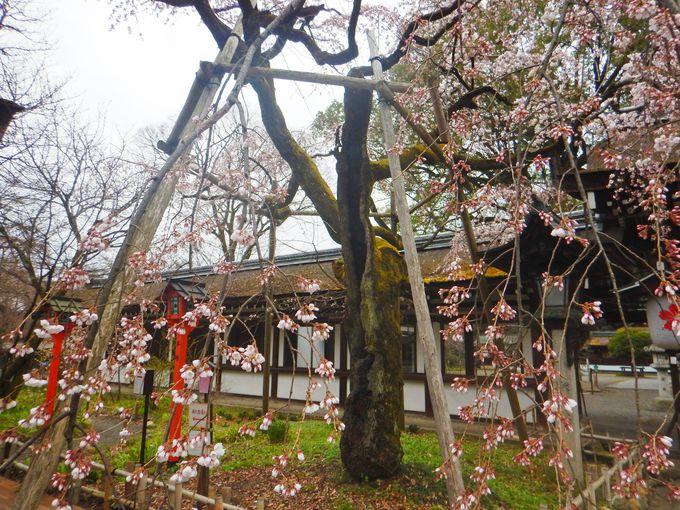 桜の名所 平野神社で魁<さきがけ>