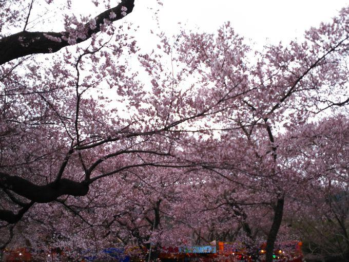 高遠城址公園内は桜開花期間は有料