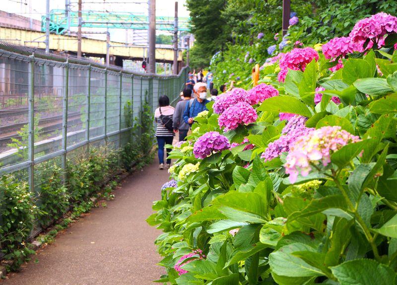 東京のあじさい名所「飛鳥の小径」は飛鳥山公園&王子駅から1分